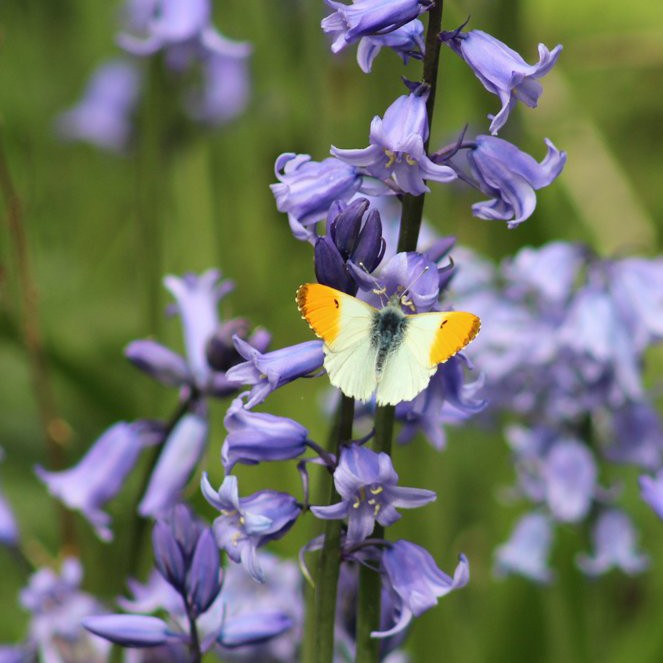 Orange-Tip Butterfly (male) and Bluebells.