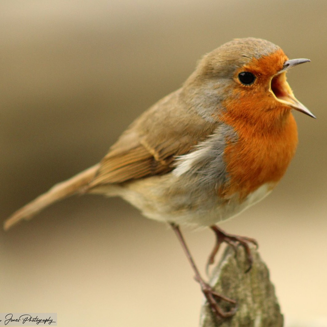 Robin Singing.