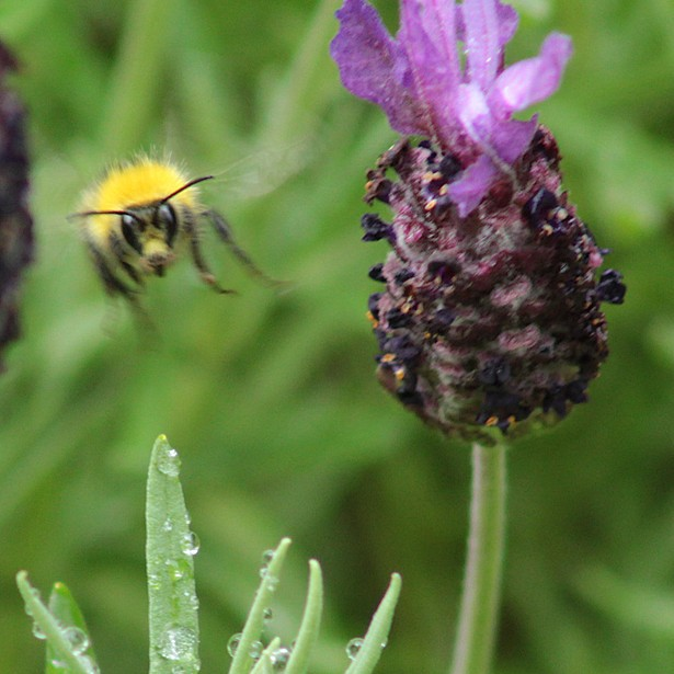 Bee and Knapweed?